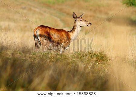 red deer doe on mountain meadow ( Cervus Elaphus )