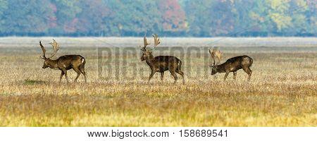 three fallow deer stags walking on field in mating season wild animals ( Dama )