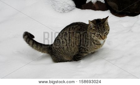 Feral tiger cat urinating in the snow