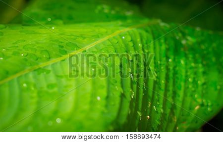 Close up of Water drops on green leaf with nature in rainy season background.