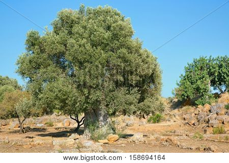 The Oldest Olive tree in the world, between 2000 years old,