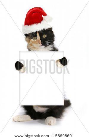 Turtle Shell Kitten Holding Blank Sign Wearing Christmas Hat