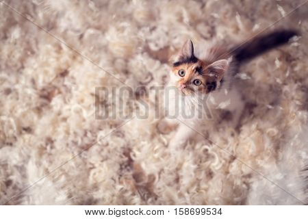 Cute kitten  and feathers, irresistible fun