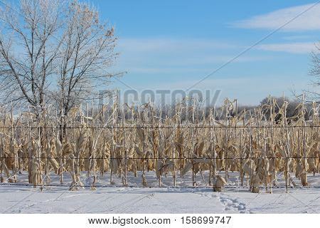 horizontal image of a frozen corn field with the corn cobs still on the stalk waiting to be harvested with snow on the ground in the winter time