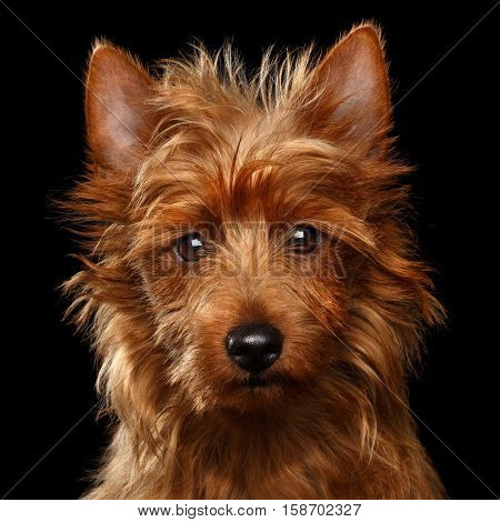 Close-up portrait of cute australian terrier dog looking in camera on isolated black background, front view