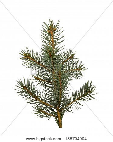 spruce twigs isolated on the white background