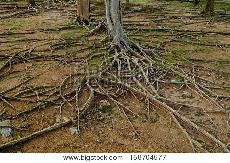 The roots of large trees , In the forest