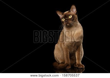 Adorable Burmese Cat with Chocolate fur color, Sits and Curious Looking , on isolated black background with reflection