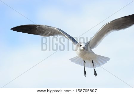 Bird flying seagull is a white bird captured spreading its wings like an ethereal angel.