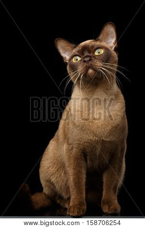 Adorable Burmese Cat with Chocolate fur color, Sits and Curious Looking up, on isolated black background with reflection