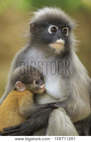 motherhood of Dusky leaf monkey Dusky langur in southern of thailand poster