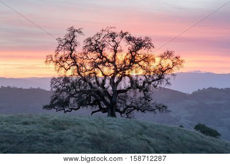Sunset Oak Tree Silhouette. Joseph D Grant County Park, Santa Clara County, California, USA
