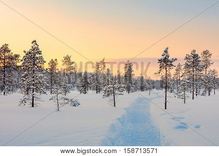 Sunset in winter snowy forest, big pine trees covered snow, empty ski way , beautiful weather - winter rest