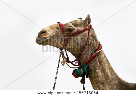 Close up of arabian camel head on white background.