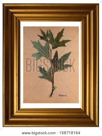 Herbarium from pressed and dried leaf of plane tree with Latin subscript (Platanus) in the frame on white background.