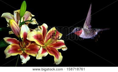 Hummingbird in flight with tropical lily flower over black background