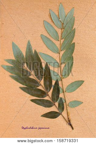 Herbarium from pressed and dried leaf of Japanese pagoda tree on antique brown craft paper with Latin subscript Styphnolobium japonicum.