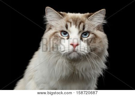 Close-up portrait of Grumpy Siberian cat with blue eyes looking in camera on isolated black background