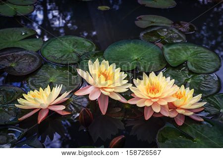 Beautiful yellow lotus in the pond background.