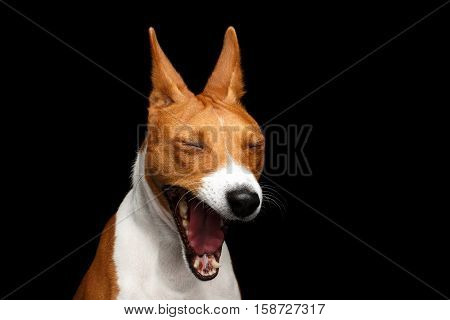 Close-up Funny Portrait White with Red Basenji Dog Yawn on Isolated Black Background, Font view