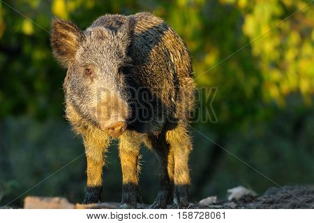 young wild hog standing in a glade ( Sus scrofa )