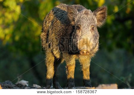 young wild boar in a glade ( Sus scrofa )
