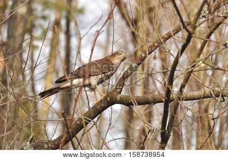 Eurasian sparrowhawk (Accipiter nisus) on the tree