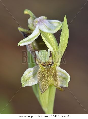 Ophrys levantina Orchid syn. Ophrys fuciflora subsp. Grandiflora Bee Orchid from Cyprus
