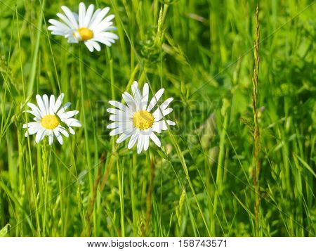 Some wonderful marguerites are shining in spring.