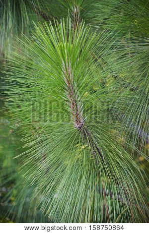 Longleaf pine (Pinus palustris). Called Southern Yellow Pine also