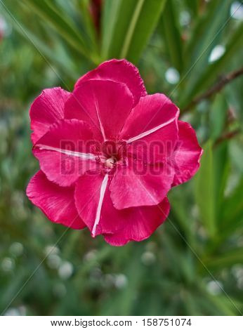vibrant red oleander flower closeup in the garden