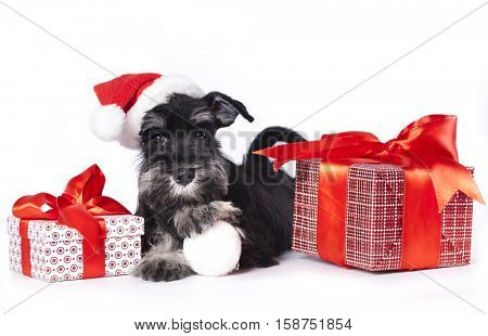 dog schnauzer  wearing a santa hat