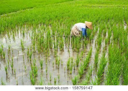 Balinese farmer working in a green rice field.