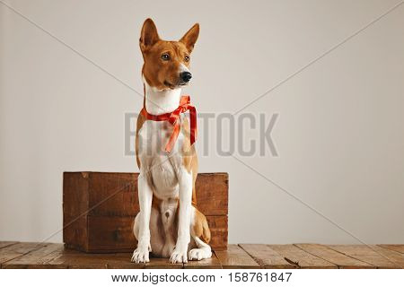 Calm relaxed brown and white basenji dog with a red sateen bow sitting near a rustic wooden box