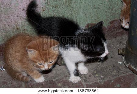 Three Cute Kitten Pet