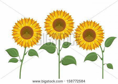 Yellow sun flowers on white background. Sunflowers for spring invitations and summer greeting cards. Sunflower with green leaves illustration
