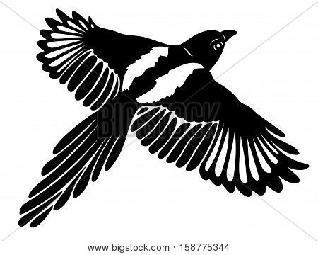 Great magpie in flight, with large wings