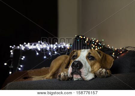 Dog on couch in room with christmas tree set. Puppy lying on a sofa in a room decorated with christmas garlands