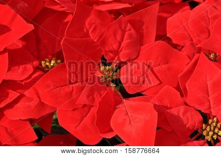 beautiful exotic plant of poinsettia or spurge flower bright red color leaves of natural christmas or xmas bush foliage as floral background
