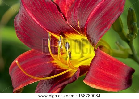 Extreme Close Up Colorful Red And Purple Daylily