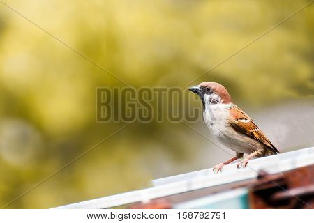 close up beauty House Sparrow on beautiful natural blur background