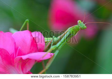 green praying mantis on tje pink flower.