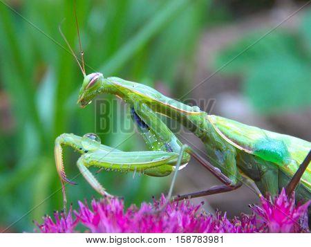 green mantis on the pink flower in garden