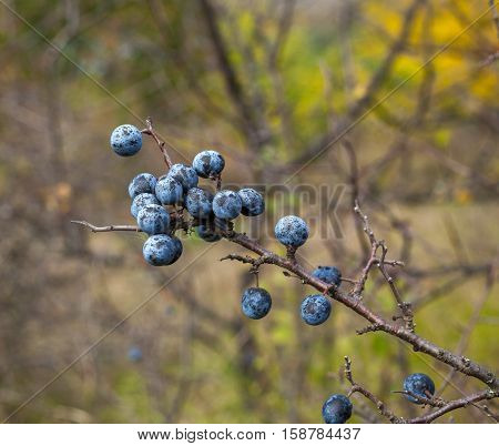 Blackthorn berries ready for harvest in the fall