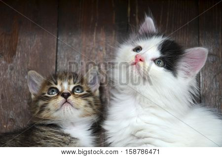 Two Kittens Looking