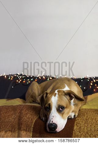 Dog on couch in cozy room with christmas tree set and white wall. Puppy portrait lying comfortably on a sofa in a living room decorated with christmas garlands