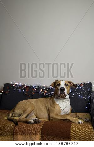 Dog in bandana on couch in living room with christmas tree set and white wall. Staffordshire terrier lies comfortably on a sofa in a room decorated with christmas garlands