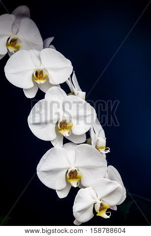 Beautiful White orchids on a dark background