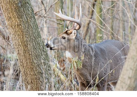 Whitetail Deer Buck standing in a thicket.