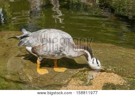 Bar-headed Goose In Wet Ambiance